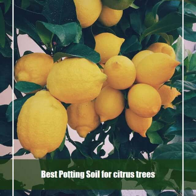 7 Best Potting Soil for Citrus Trees 2020 [Top Picks & Reviews]