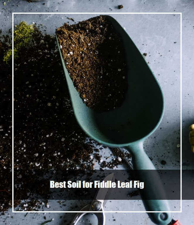 Best Soil for Fiddle Leaf Fig