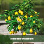 11 Best Fertilizer for Citrus Trees 2021 [Top Picks & Reviews]