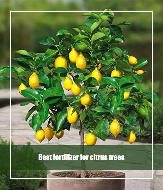 Best fertilizer for citrus trees