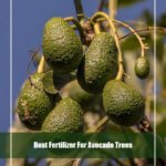7 Best Fertilizer for Avocado Trees 2020 [Reviews & Guide]