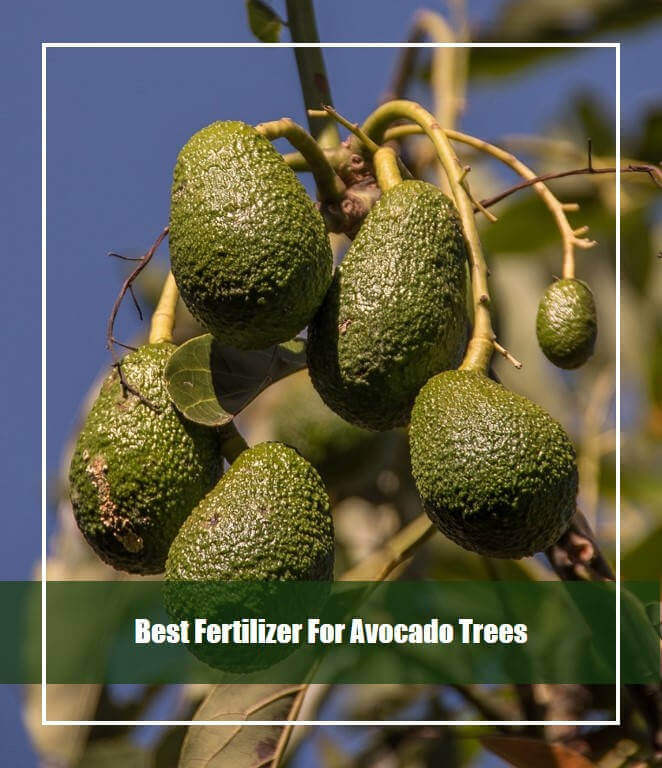 Best Fertilizer For Avocado Trees