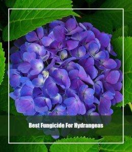 Best Fungicide For Hydrangeas