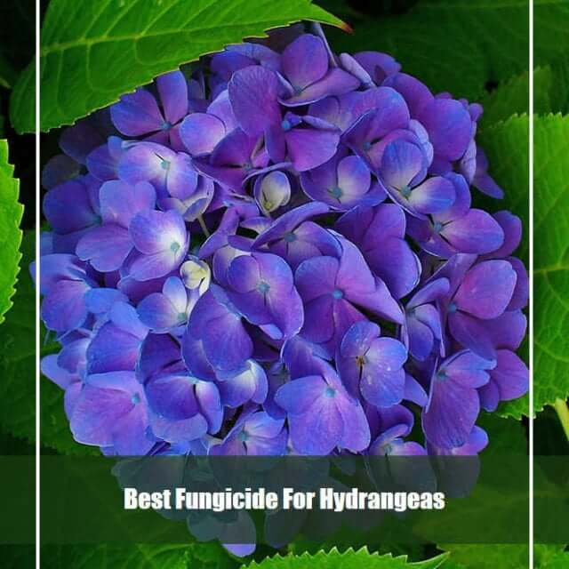 7 Best Fungicide for Hydrangeas 2021 [Reviews & Guide]