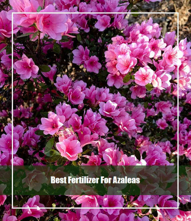 7 Best Fertilizer for Azaleas 2020 [Reviews & Guide]