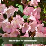 7 Best Fertilizer for Rhododendrons 2020 [Reviews & Guide]
