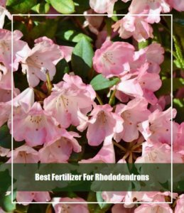 best fertilizer for rhododendrons