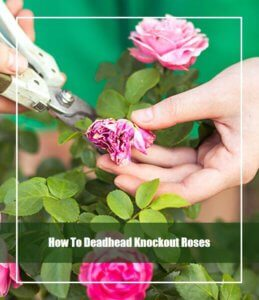how to deadhead knockout roses