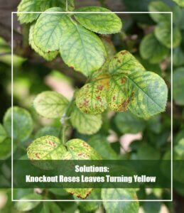 knockout roses leaves turning yellow