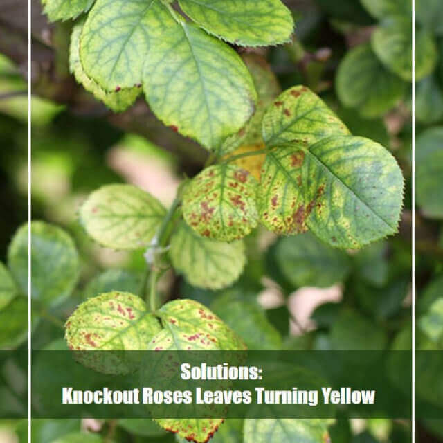 Knockout Roses Leaves Turning Yellow? [Reasons & Solutions]