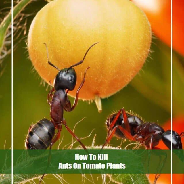12 Effective Methods To Kill Ants On Tomato Plants