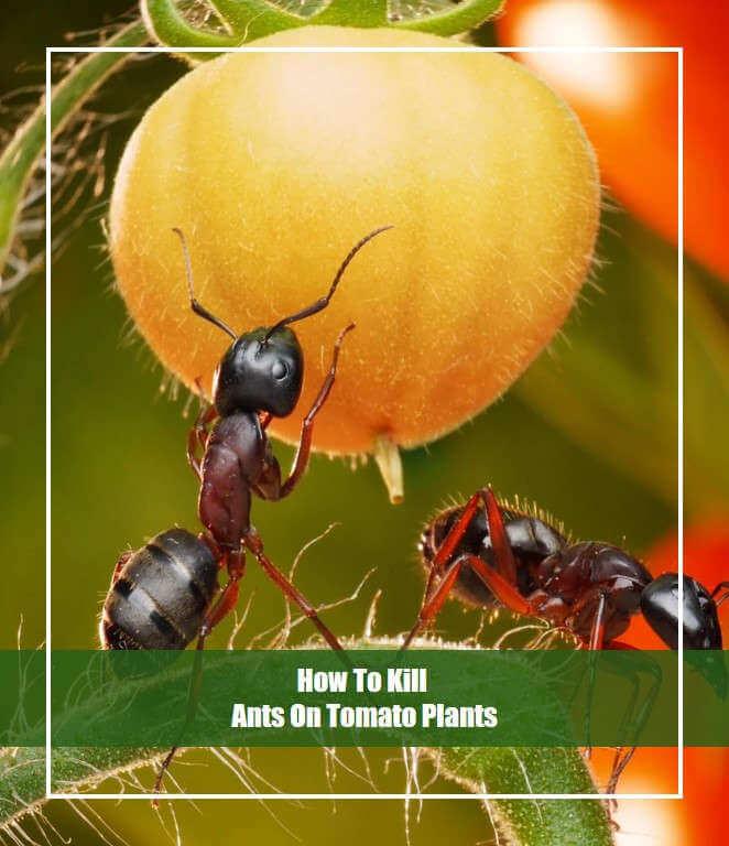 Ants On the Tomato Plant
