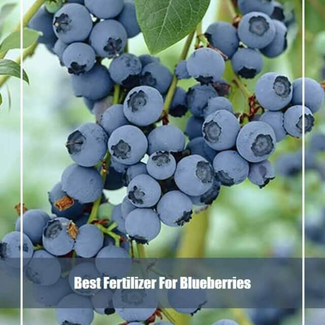 10 Best Fertilizer for Blueberries 2020 [Top Picks & Reviews]