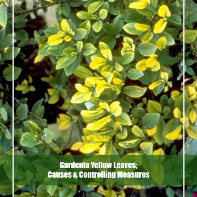 7 Reasons of Gardenia Yellow Leaves [Troubleshooting Guide]