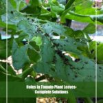 8 Way to Get Rid of Holes In Tomato Plant Leaves
