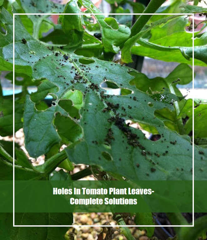 Holes In Tomato Plant Leaves