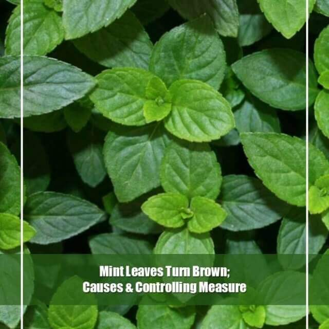 5 Causes of Mint Leaves Turn Brown[Complete Solution]