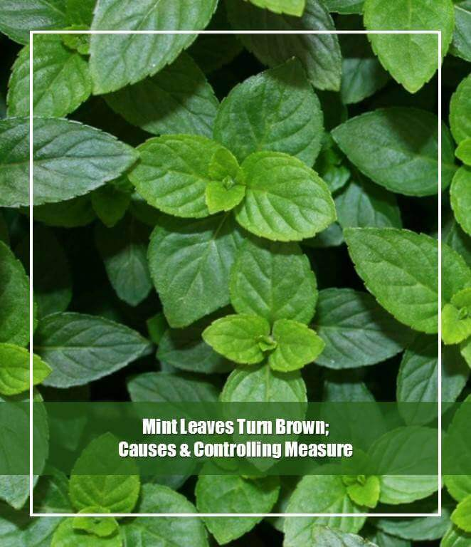 Mint Leaves Turn Brown