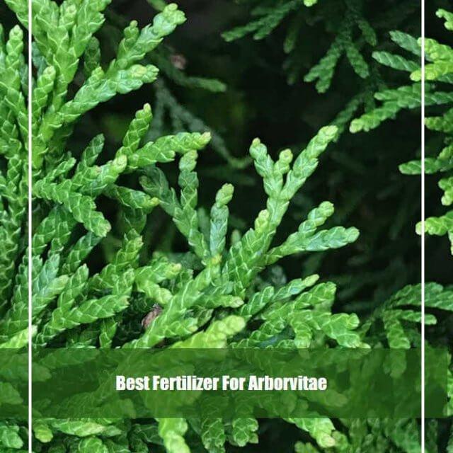 7 Best Fertilizer for Arborvitae 2020-[Reviews & Guide]