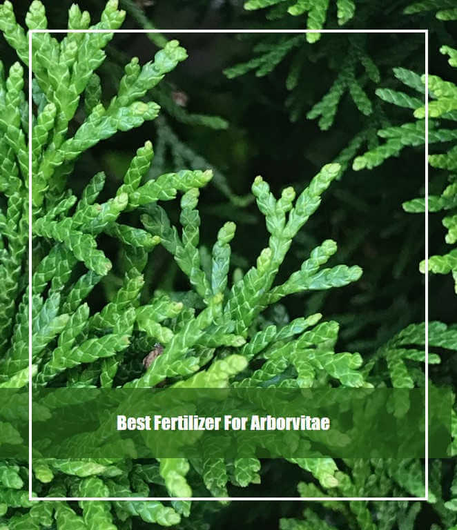 best fertilizer for arborvitae