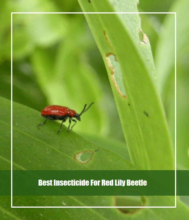 best insecticide for red lily beetle