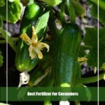 7 Best Fertilizer For Cucumbers 2020- [Reviews & Guide]
