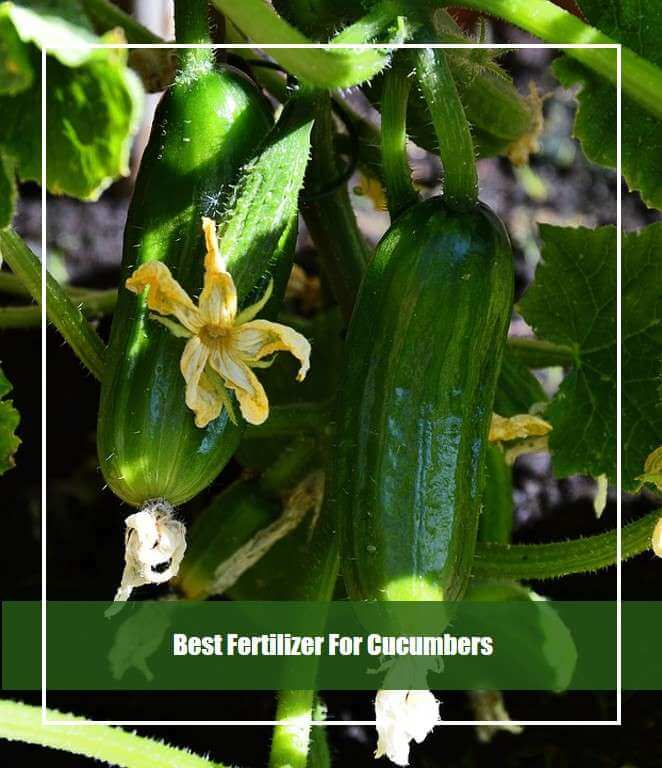 Best Fertilizer For Cucumbers