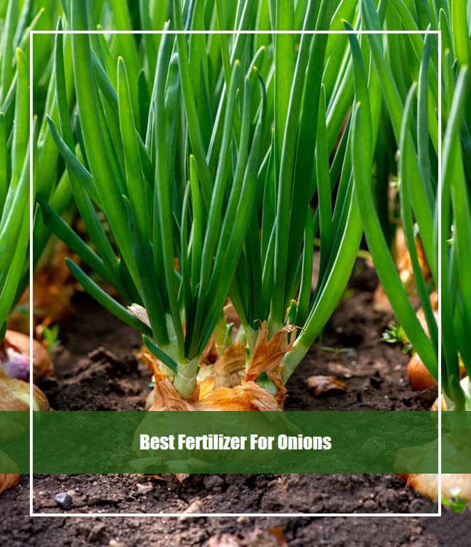 8 Best Fertilizer for Onions 2020 [Reviews & Guide]