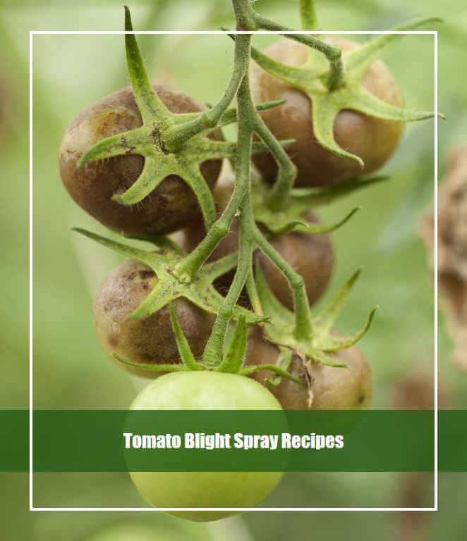 Tomato Blight Spray Recipes