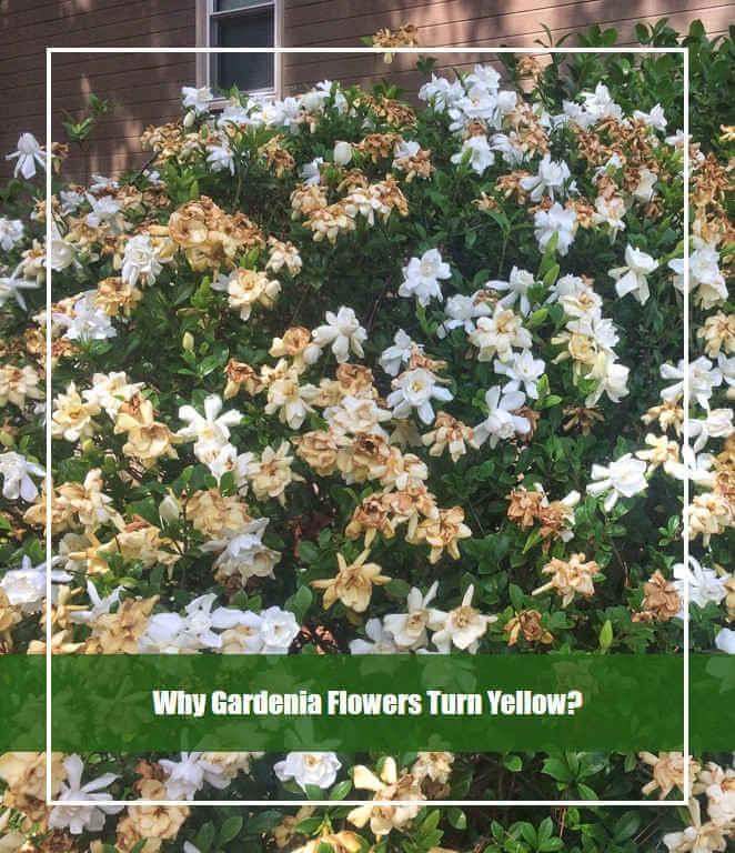 why gardenia flowers turn yellow