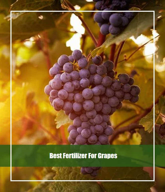 Best Fertilizer For Grapes