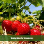 10 Best Fertilizer for Strawberries 2020 [Top Picks & Reviews]