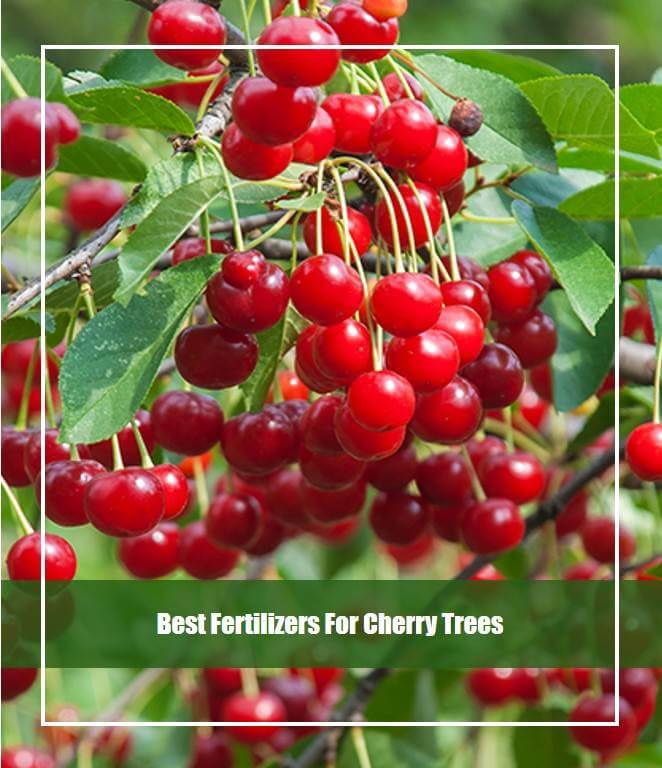 Best Fertilizers For Cherry Trees