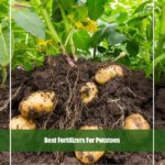7 Best Fertilizer for Potatoes 2020 [Reviews & Guide]