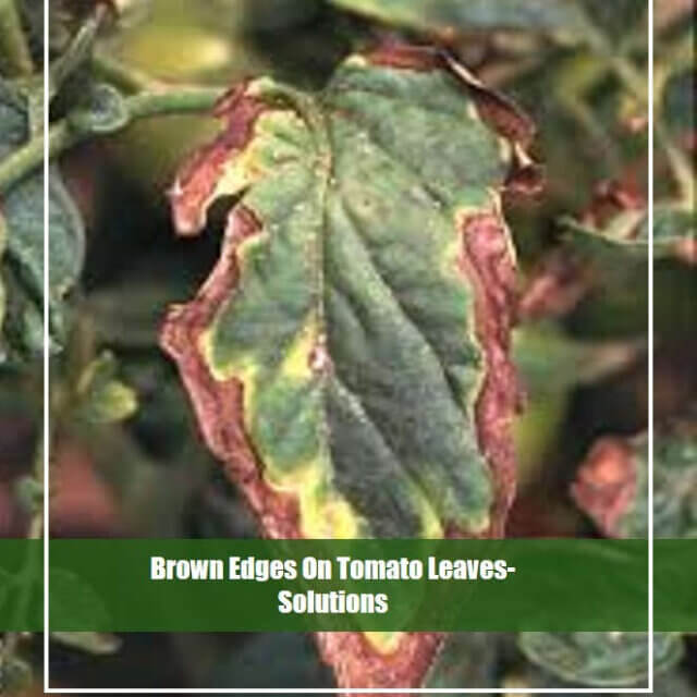 Best Way to Get Rid of Brown Edges on Tomato Leaves