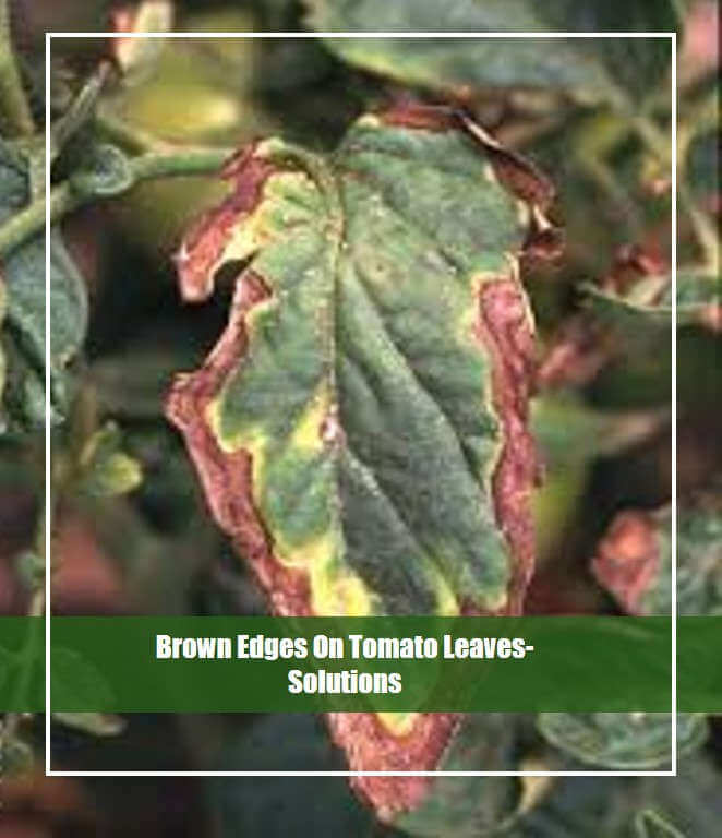 Brown edges on tomato leaves