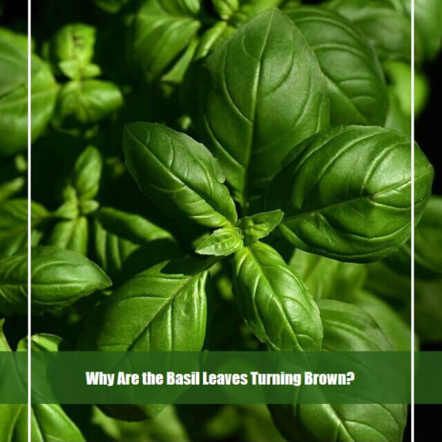 Why Are the Basil Leaves Turning Brown? [Causes & Treatment]