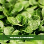 7 Best Fertilizer for Lettuce and Spinach 2020 [Reviews & Guide]