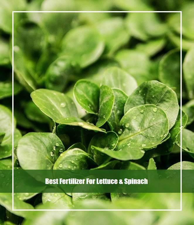 Best Fertilizer For Lettuce & Spinach