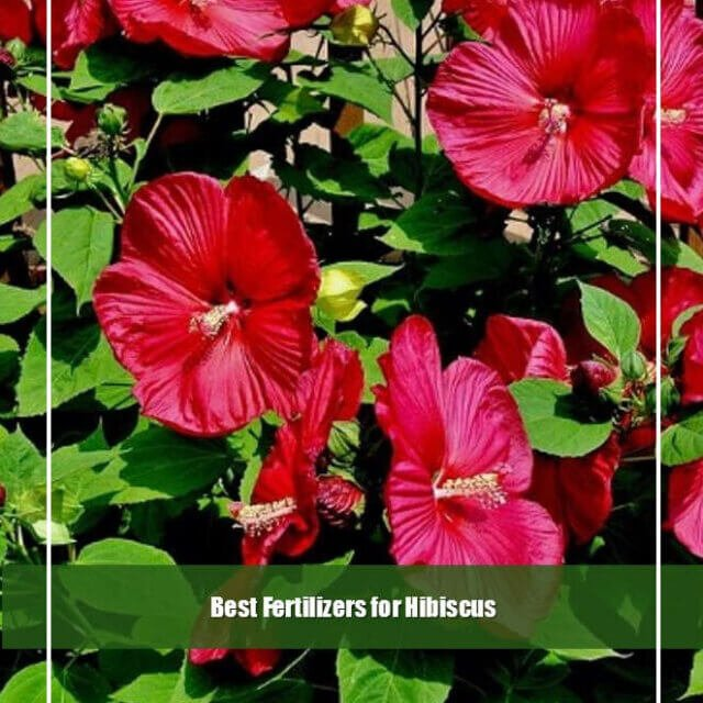 10 Best Fertilizers for Hibiscus 2020 [Reviews & Guide]