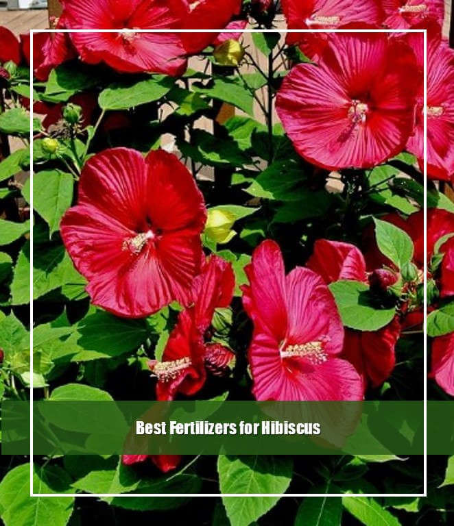 Best Fertilizers for Hibiscus