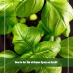 How to Get Rid of Brown Spots on Basil?[Causes &Treatment]