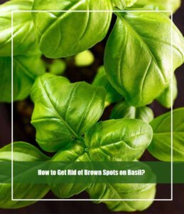 How to Get Rid of Brown Spots on Basil