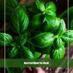 5 Best Fertilizer for Basil 2020 [Reviews & Guide]