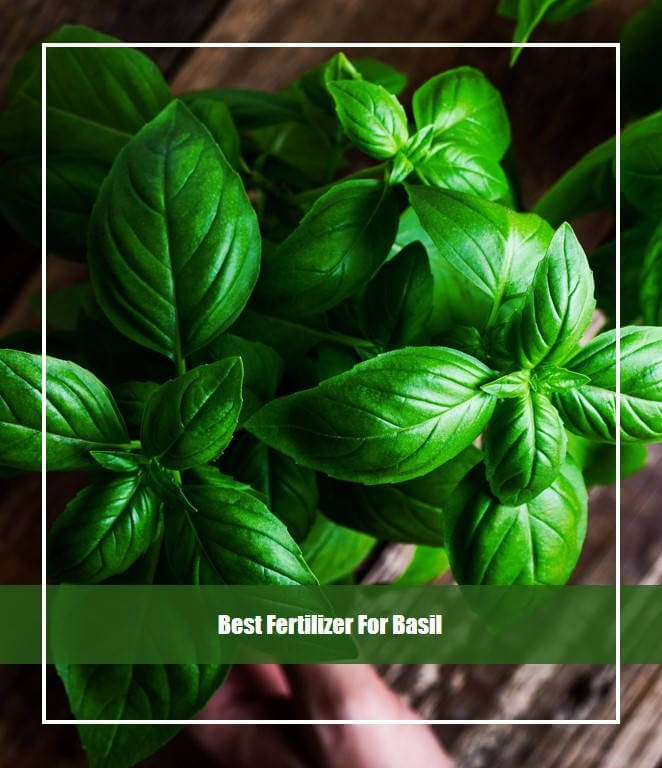 best fertilizer for basil