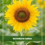 Best Fertilizer For Sunflower