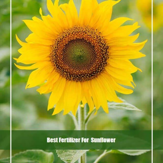 8 Best Fertilizer for Sunflowers 2020 [Top Picks & Guide]